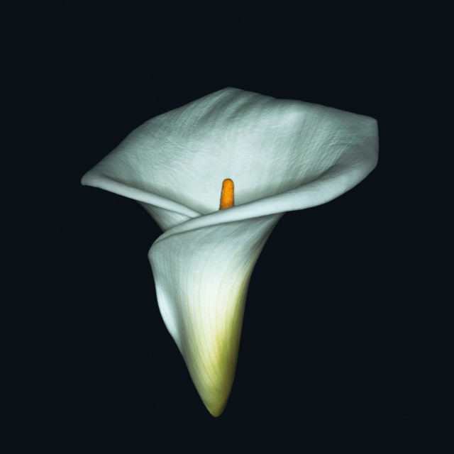 Ron Agam - Calla Lilly