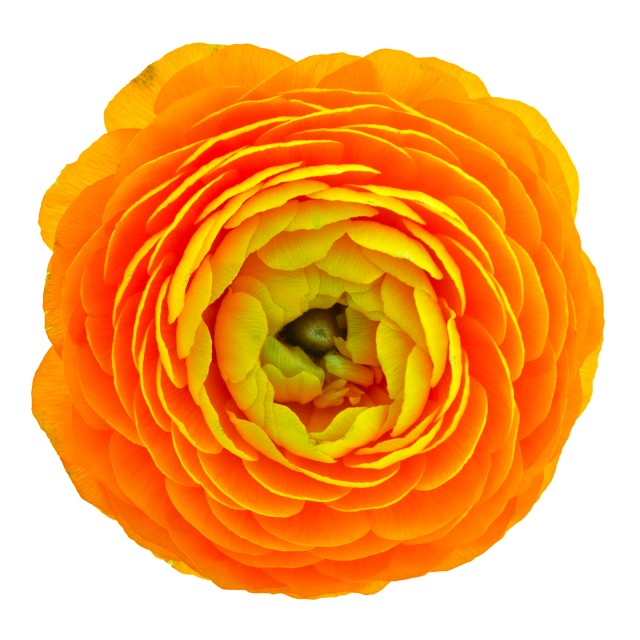 Ron Agam - Yellow Ranunculus #2