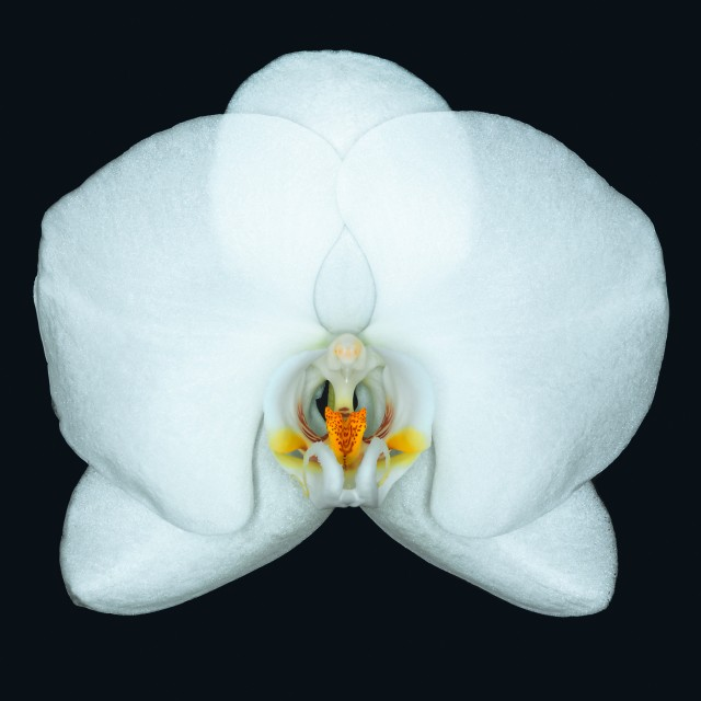 Ron Agam - White Orchid